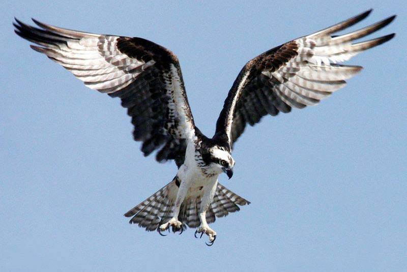 Osprey or Sea hawk