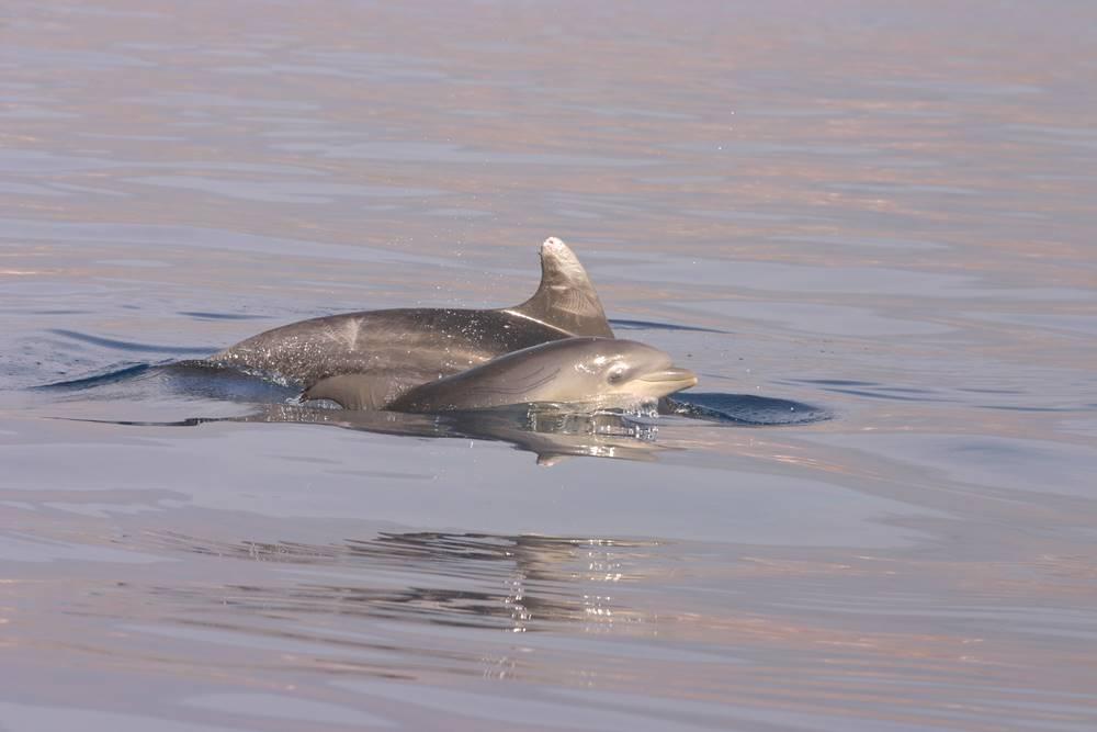 bottlenose dolphin 2