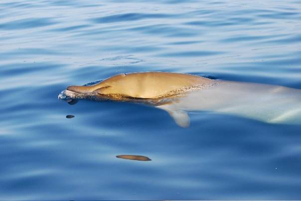 blanville beaked whale pic