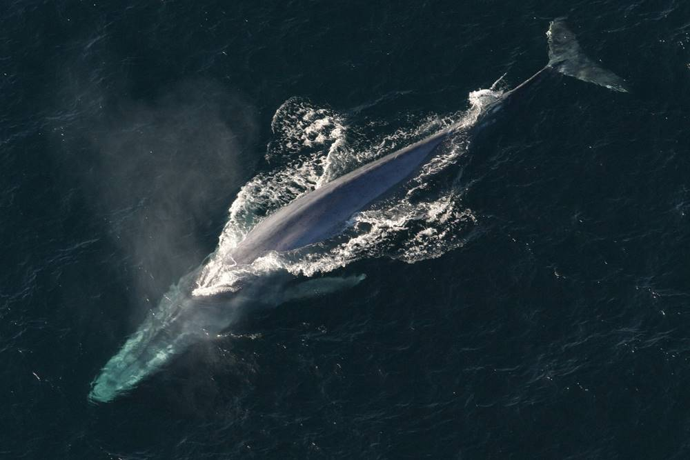 blue whale - wwet