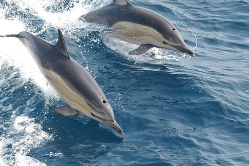 common dolphins - wwet