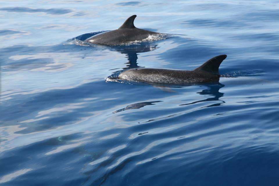 spotted dolphins 1