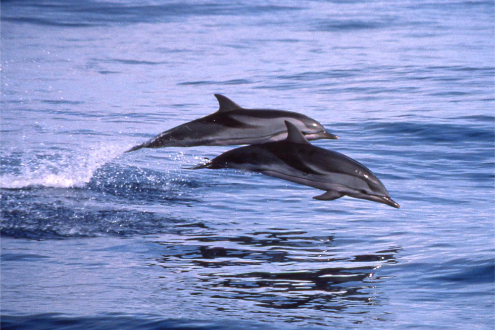 stripped dolphin pic